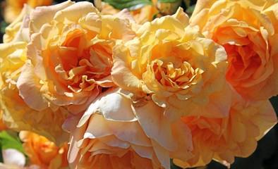 of_sb02_5191851_2_pre_roses