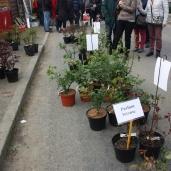 marche_aux_plantes_2017_rosiers_cote_emeraude_0607