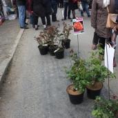 marche_aux_plantes_2017_rosiers_cote_emeraude_0608