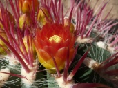 cactuseraie_Ferocactus-pilosus