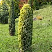 juniperus-communis-gold-cone-