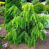 juniperus-communis-horstmann-