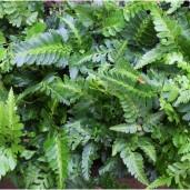 arachniodes-simplicior-variegata-